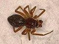 Oedothorax apicatus (24081732968).jpg