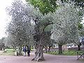 Olive tree in Villa Adriana.jpg