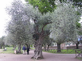 Olive tree in Villa Adriana.jpg