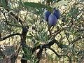 Olivos en Diciembre.jpg