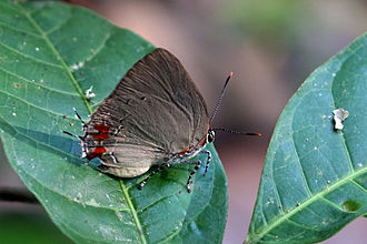 Olynthus (butterfly) - Olynthus sp., Cristalino River Southern Amazon, Brazil