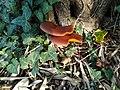Omphalotus olearius 27012265.jpg