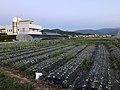 Onion fields in Tajiri, Nishi, Fukuoka 3.jpg