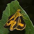 Open wing of Oriens gola (Common Dartlet) butterfly.jpg