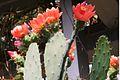 Opuntia elatior pm1.jpg