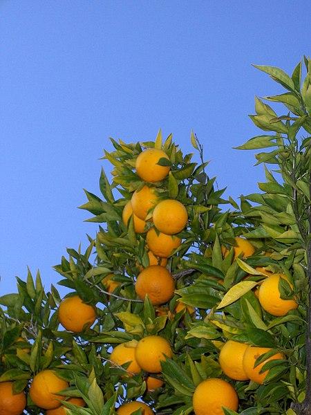File:Orange tree (chez fine).jpg