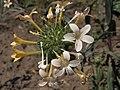 Orange trumpets, Collomia grandiflora (22860069466).jpg