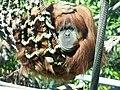 OrangutanSD.jpg