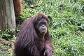 Orangutan 069.jpg