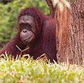 Orangutan VI (13945308352).jpg