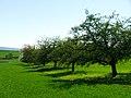 Orchard - panoramio (1).jpg
