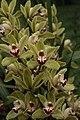 Orchid (32740953734).jpg