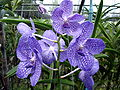 Orchid 3 - Chiang Mai.jpg