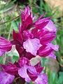 Orchis papilionacea flower Closeup 12April2009 CampodeCalatrava.jpg