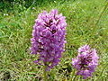 Orchis pyramidal Champcevinel (31).JPG