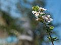 Origanum vulgare Flower.jpg