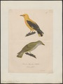 Oriolus galbula - 1800-1812 - Print - Iconographia Zoologica - Special Collections University of Amsterdam - UBA01 IZ16400167.tif