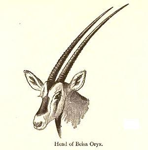 East African oryx - Common beisa oryx (Oryx beisa beisa)
