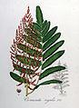 Osmunda regalis — Flora Batava — Volume v8.jpg