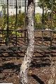 Ostrya virginiana 13zz.jpg