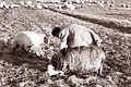 Ovce v Spuhlji 1962 (2).jpg