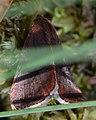 Owlet Moth (Noctuoidea) - Killarney, Ontario.jpg
