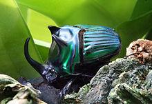 Escarabajo macho de la familia Scarabaeidae