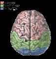 Płaty mózgu.png