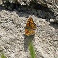 P1110555 Lasiommata megera (samec).jpg