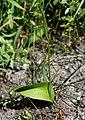 PNBT Ophioglossum vulgatum pokrój 03.07.10 2pl.jpg