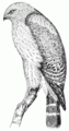 PSM V51 D612 Red shouldered hawk.png