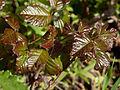 Pacific poison oak (Toxicodendron diversilobum) (5798531134).jpg