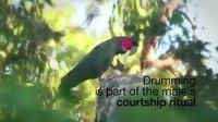 File:Palm cockatoos beat drum like Ringo Starr.webm