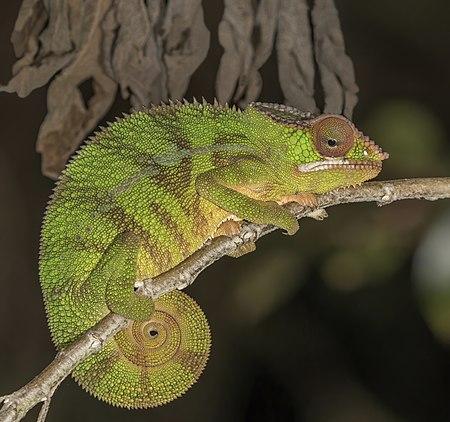 Panther chameleon (Furcifer pardalis) male, Montagne d'Ambre, Madagascar