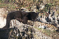 Panthera onca zoo Salzburg 2009 01.jpg