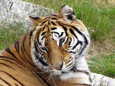 Tiger på Junsele djurpark