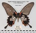 PapilioMemnonAgenorFemUpUnAC1.jpg