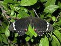 Papilio aegeus (2974388600).jpg