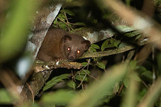 Golden palm civet species of mammal