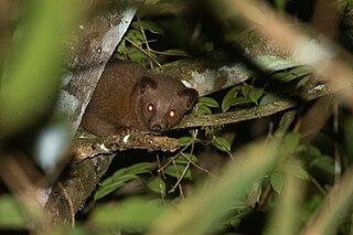 Golden palm civet Species of carnivore