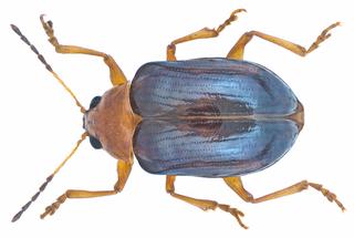 <i>Paraivongius</i> Genus of leaf beetles from Africa