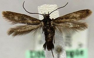 <i>Parascythris</i> Genus of moths