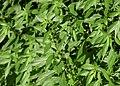 Parietaria officinalis kz12.jpg