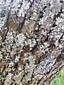 "Parmelia sulcata, Evernia prunastri, ""Vazduh koji dišemo"".jpg"
