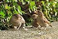 Passer Domesticus - Utoquai 2011-07-23 19-21-08.JPG