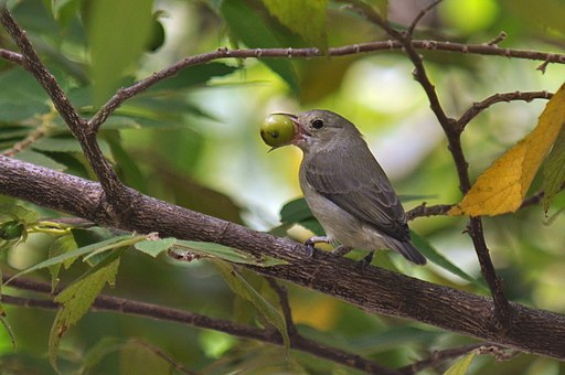 Pale-billed flowerpecker eating a Jamaican berry. Photo credit: TR Shankar Raman [Licensed under CC-BY-SA-4.0]