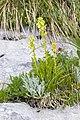 Pedicularis julica 24.jpg
