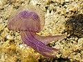 Pelagia noctiluca (Sardinia).jpg