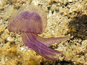 Pelagia noctiluca - Image: Pelagia noctiluca (Sardinia)