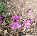 Pelargonium reniforme, d, Walter Sisulu NBT.jpg